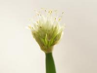 葱ぼうず 花